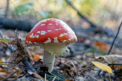 Big red fly agaric grows in the autumn forest stock image
