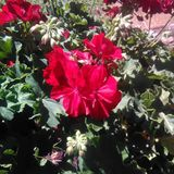 Big red geranium. Flowers Red flowers Gardening Royalty Free Stock Photography