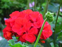 Big Red Geranium. Hot red geranium bloom on blurred green background. stock photo
