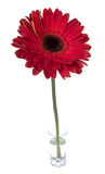 Big red gerbera in glass with water Stock Photo