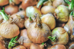 Big red and golden onions vegetables for culinary in basket clos. E up Stock Images