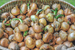 Big red and golden onions vegetables for culinary in basket. Close Royalty Free Stock Images