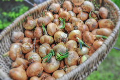 Big red and golden onions vegetables for culinary in basket. Close Royalty Free Stock Image