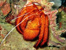 Big Red Hermit Crab Stock Photo