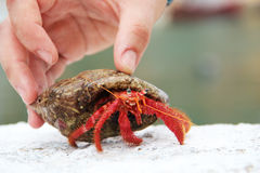 Big red hermit crab Royalty Free Stock Images