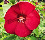 Big red hibiscus flower Stock Photos