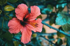 Red hibiscus flower. Big and red hibiscus flower Stock Images