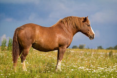 Big red horse. Syand on field Royalty Free Stock Images
