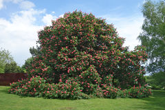 Big Red horse-chestnut & x28;Aesculus x carnea & x27;Briotii& x27;& x29; tree. Red horse-chestnut is an artificial hybrid between Aesculus pavia & x28;red Stock Photos