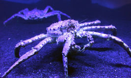 Big red king crab Royalty Free Stock Photos