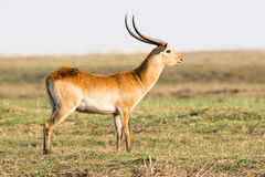 Big red lechwe buck broadside. In Africa Royalty Free Stock Images