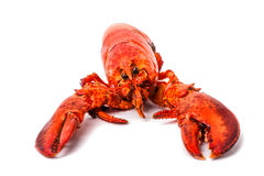 Big red lobster isolated on a white background Royalty Free Stock Images