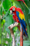 Big red macaw Royalty Free Stock Photo