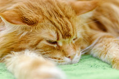 Big red Maine Coon cat Stock Photos