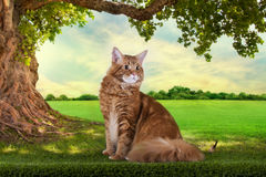 Big red Maine Coon on the grass under a tree on a sunny day Royalty Free Stock Photo