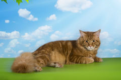 Big red Maine Coon on the grass under a tree on a sunny day Royalty Free Stock Photos