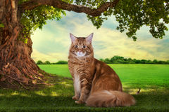 Big red Maine Coon on the grass under a tree. Stock Photo