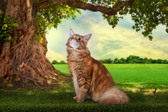 Big red Maine Coon on the grass under a tree on a sunny day Stock Photography
