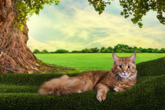 Big red Maine Coon on the grass under a tree on a sunny day Stock Photos