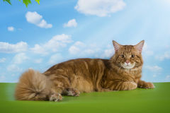 Big red Maine Coon on the grass under a tree on a sunny day Royalty Free Stock Image