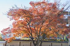 Big red maple tree near Arashiyama station. Kyoto, Japan Stock Photo
