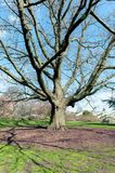 Big red oak or or champion oak Quercus rubra at Kew Gardens, Richmond upon Thames, England. London, UK - April 2018: Big red oak or or champion oak Quercus rubra Royalty Free Stock Images