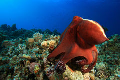 Big Red Octopus Stock Image