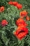 Big red poppies flowers. Selective focus Stock Image