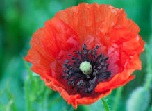 Big red poppy flower Stock Photos