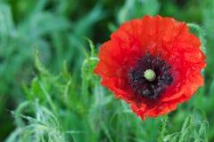 Big red poppy flower Stock Photo