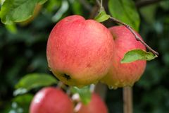 Free Big Red Ripe Apples On The Apple Tree, Ready To Harvest Royalty Free Stock Photography - 99989117