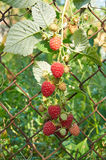 Big red ripe raspberries on a netting Stock Photography