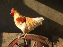 Big Red Rooster. Big rooster standing on wheel Stock Images