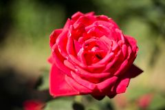 Big red rose on branch. Large rose close-up stock photos