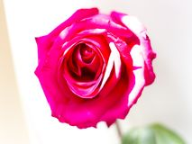 Big red rose bud stock photography