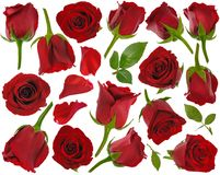 Big red rose buds and leaves and petals at various angles on whi Stock Photos