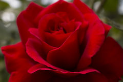 Big red rose close up Royalty Free Stock Image