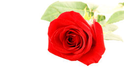Big red rose close up isolated Royalty Free Stock Photo