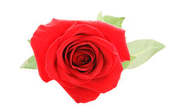 Big red rose close up isolated Royalty Free Stock Image