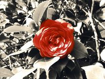 Red rose with black background royalty free stock images