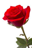 Big red rose Stock Photos