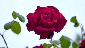 Big red rose after rain closeup. stock video