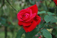 The Big Red Rose Royalty Free Stock Photography