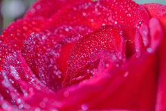Big red rose with water drops Royalty Free Stock Photo