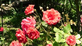 Big red roses on blurred background. Bright flowers swaying in the wind, green plants behind. Summer sunny day in park or garden stock video footage