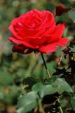 Big red roses, bright sunshine. Big red one roses bright sunshine Blurred green background beautiful Give Valentine`s Day Love stock photo