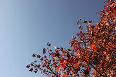 Big red rowan tree with berries on a wide blue autumn sky background in September, sunny autumn day stock image