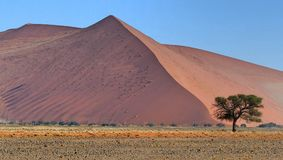 Big red sand dune with a green tree in front, colourful desert Royalty Free Stock Image