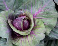 Big red Savoy Deadon cabbage. Royalty Free Stock Images