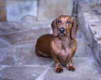 Red Smooth Doxie sits outside on stone walkway looking at camera. Big red short-haired standard dachshund with serious face sitting on flagstones looking up at royalty free stock image